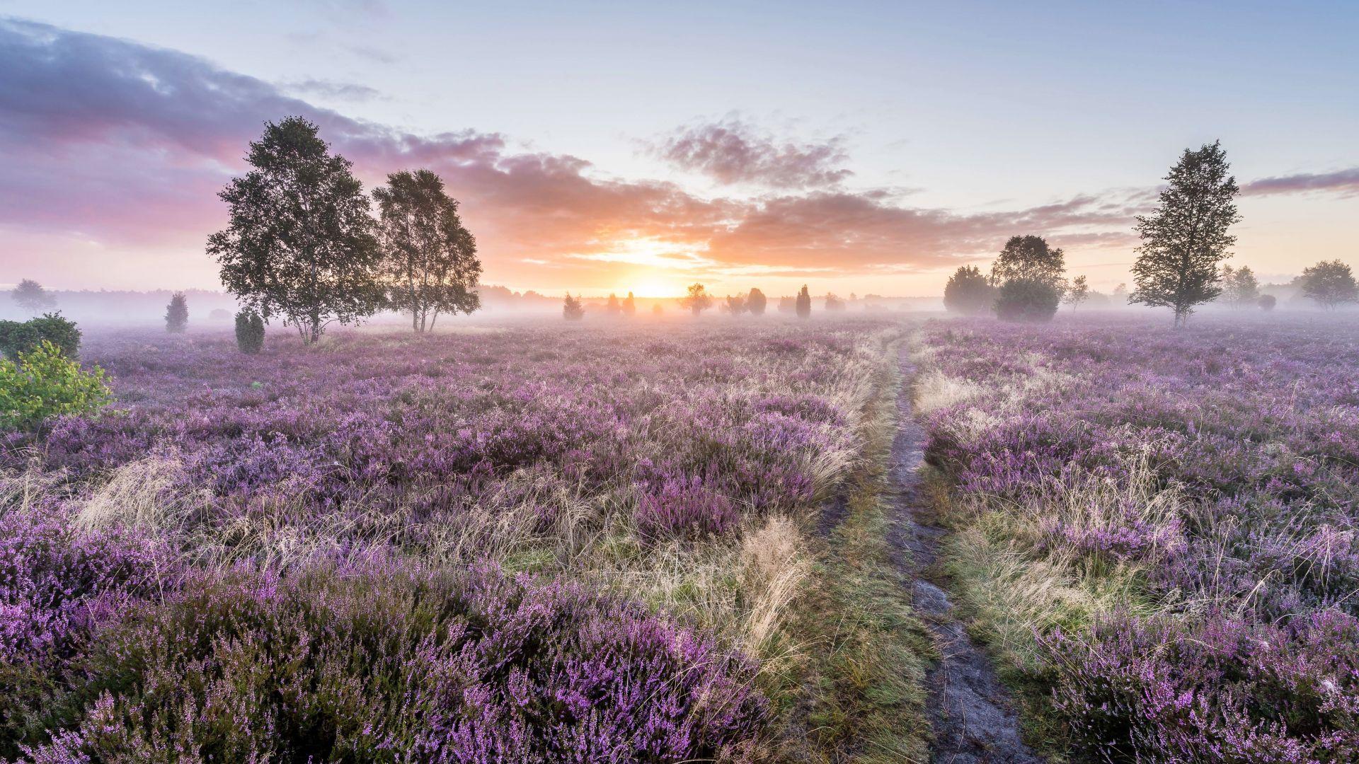 Lüneburg: Lüneburger Heide in der Blütezeit