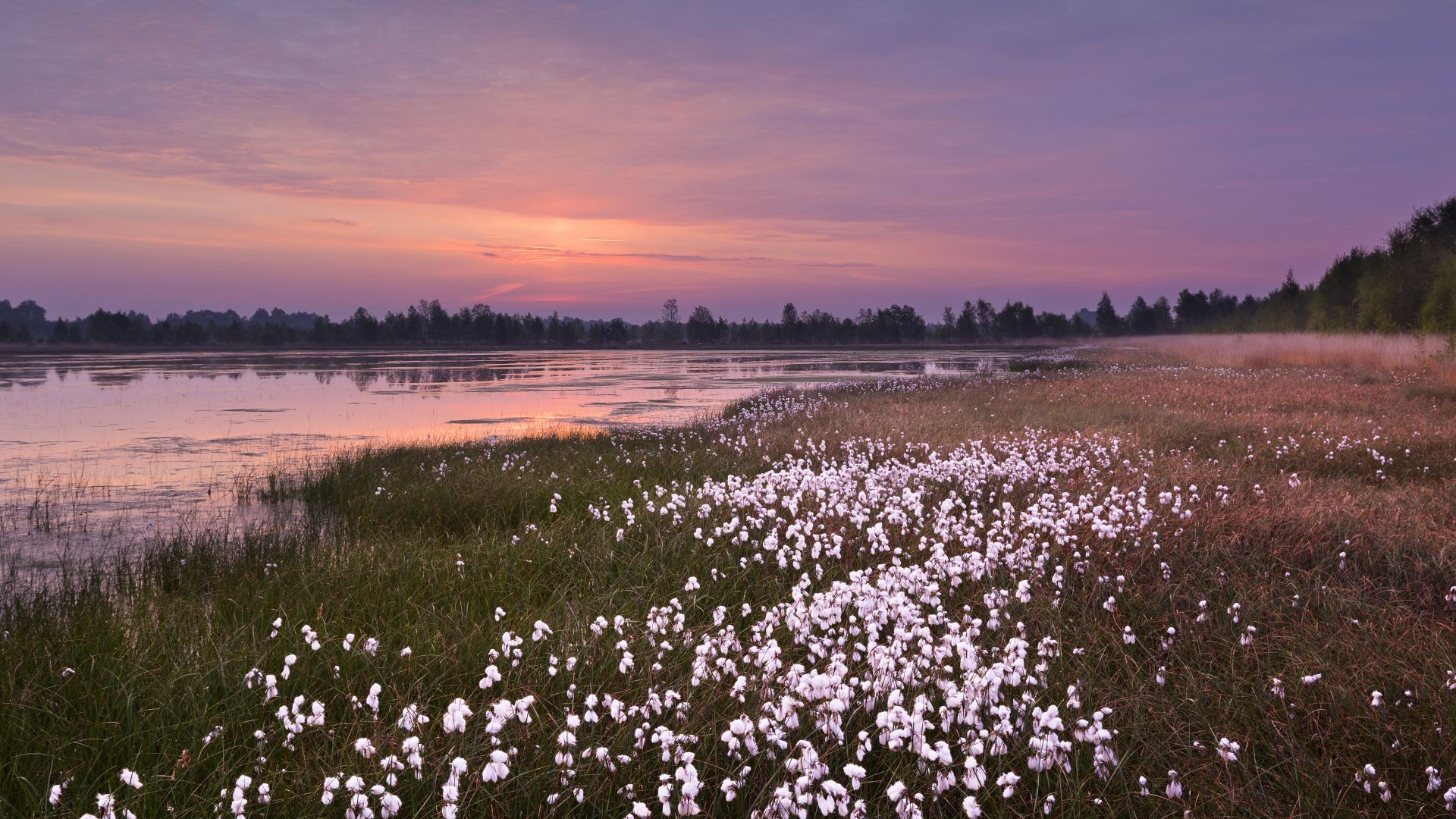Emsland: Cotton grass in the moor